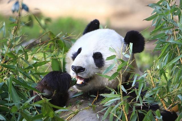 8. 每天大貓熊有14~16個小時在進食(竹子),剩下的時間在睡覺...(羨慕)