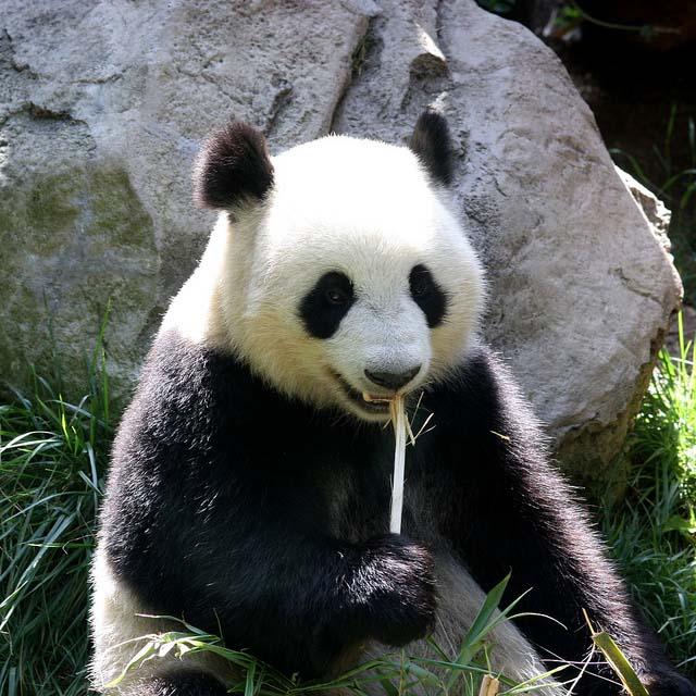 10. 約40秒內就能吃掉一根竹筍,還包括剝皮在內哦~