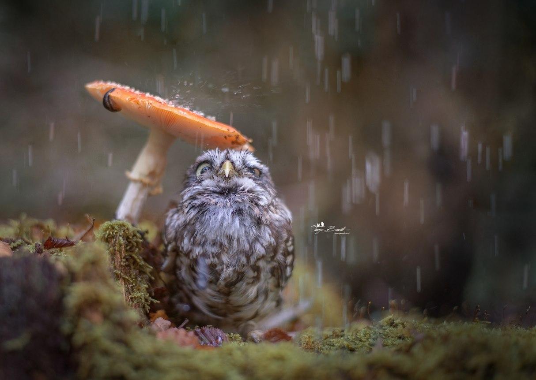一張迷你貓頭鷹倚靠蘑菇躲雨的照片走紅網路...☆