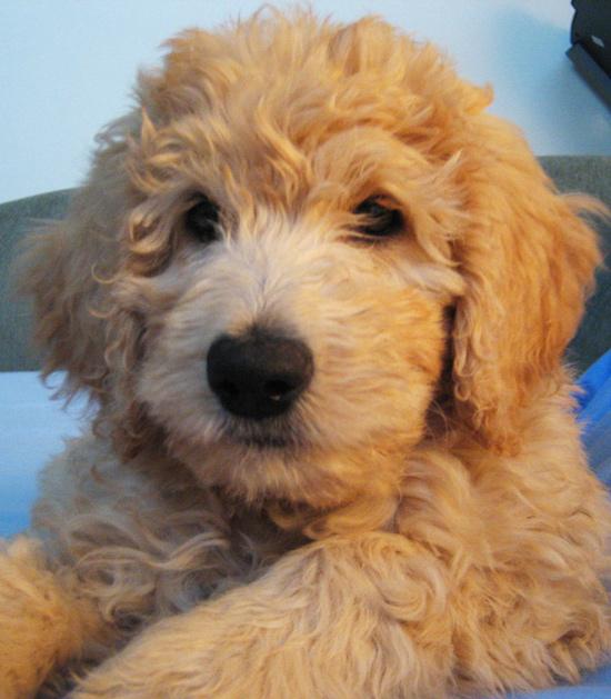 這隻狗是黃金獵犬與貴賓交配出來的一種混種狗