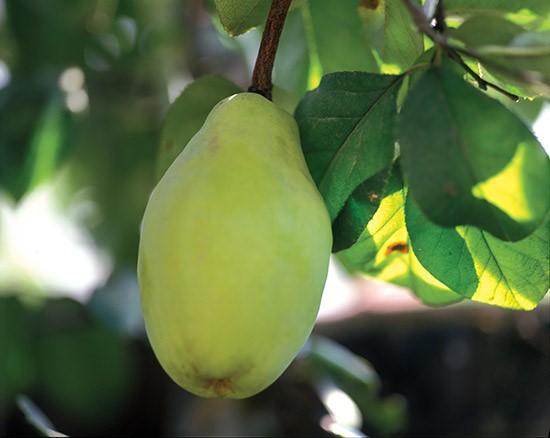 #4 木瓜茶 香甜可口的木瓜中含有豐富的皂素、檸檬酸和維生素C等抗氧化成分。