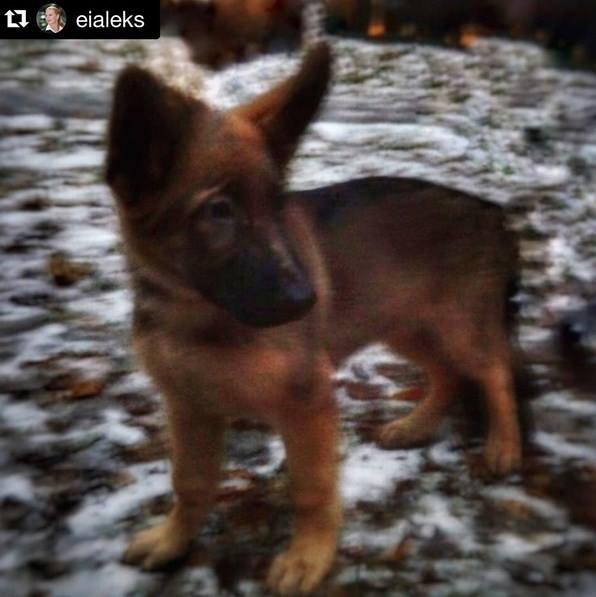 俄羅斯贈送法國一隻小狼犬 以俄羅斯傳奇英雄起名 叫做「多布雷尼亞」(Dobrynya)