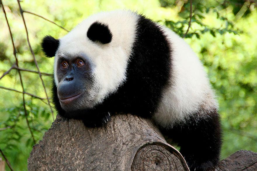 7. 猩貓熊(大貓熊+猩猩)