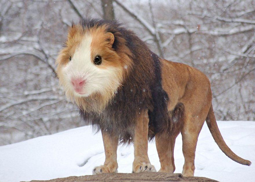 15. 鼠頭獅(天竺鼠+獅子)