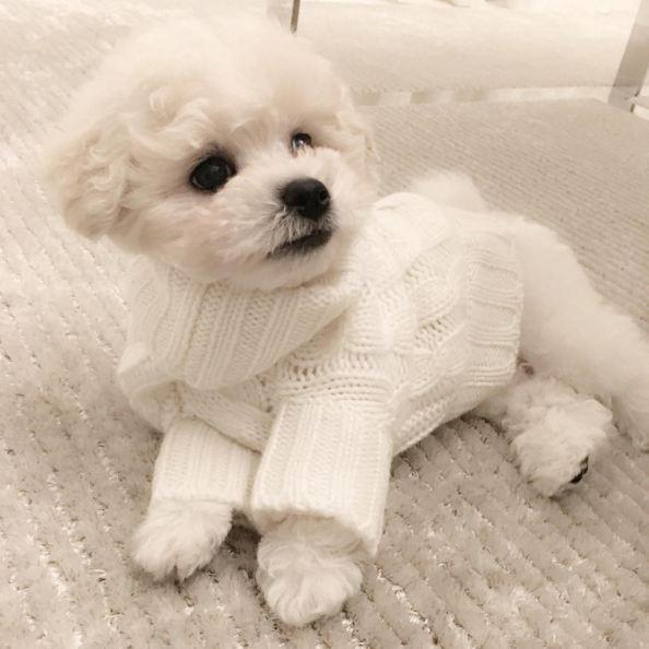 朴敏英的寵物狗狗也穿上了白色的針織毛衣...:-D