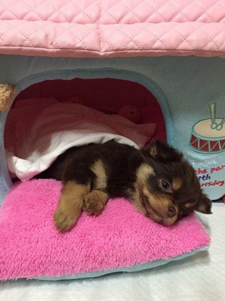 接下來EXID率智的狗狗叫 Choco 好像是吉娃娃狗狗的一種,慵懶的眼神完全是狗狗界中的蛋黃哥啊!!