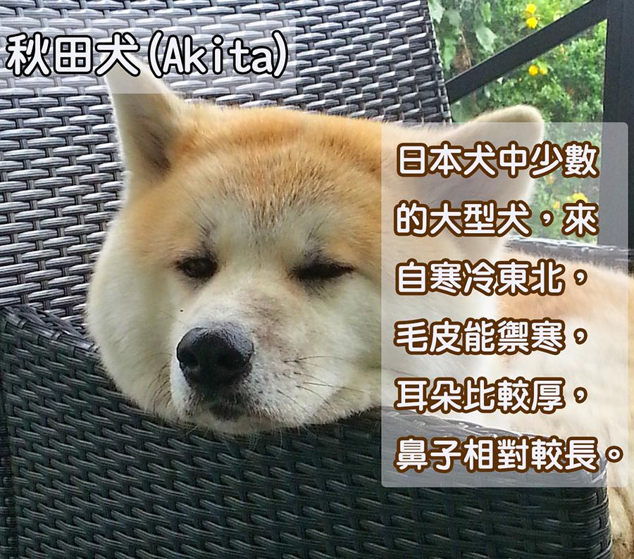 秋田犬除了和柴犬有相同的毛色,還多了一個虎斑紋!