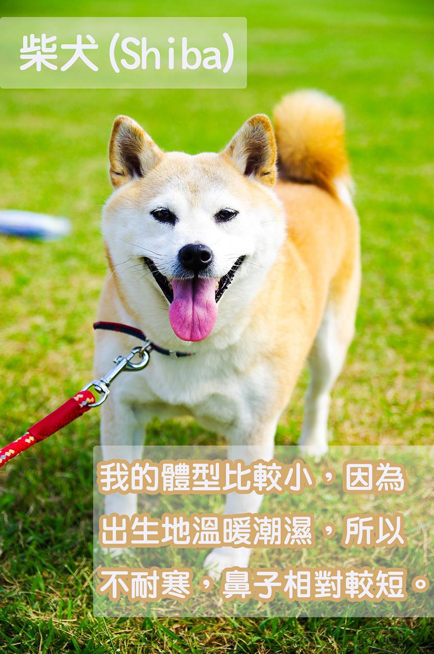 在日本,柴犬是最多人養的品種,毛色有赤色(偏茶黃色的紅色)、白色、黑色等