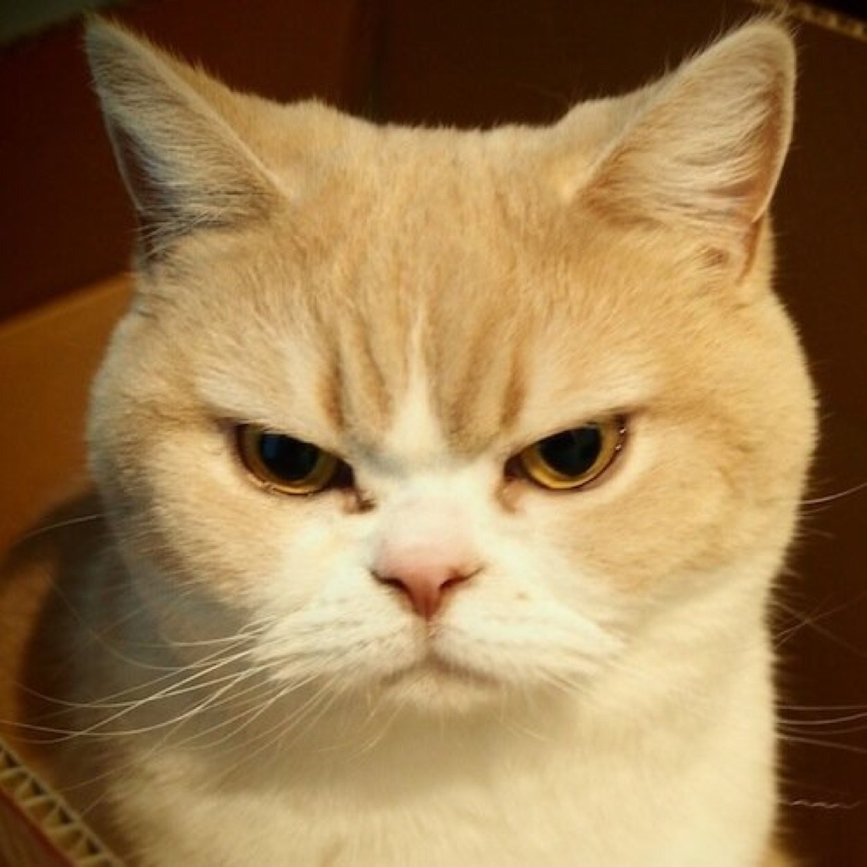 喵~不知道大家知不知道最近在網路上很紅的生氣貓「小雪」