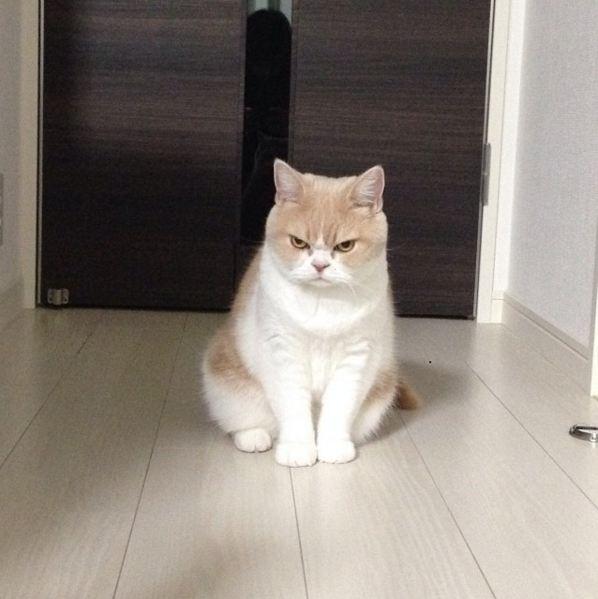 今年八歲的小雪是一隻住在日本的蘇格蘭摺耳貓(Scottish Fold),看起來一直在生氣的表情讓他在網路上爆紅~