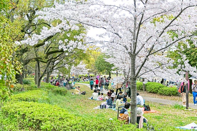 裡面除了有一大片櫻花海之外,還可以悠閒地邊野餐邊賞花~完全就是小編們夢寐以求的景象啊♡