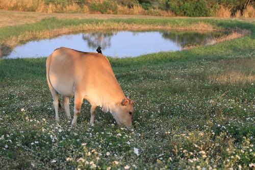 而且這邊居然還有養牛!!!有沒有陽明山擎天崗的 fu~~但醒醒呀 我們在墾丁XDD!