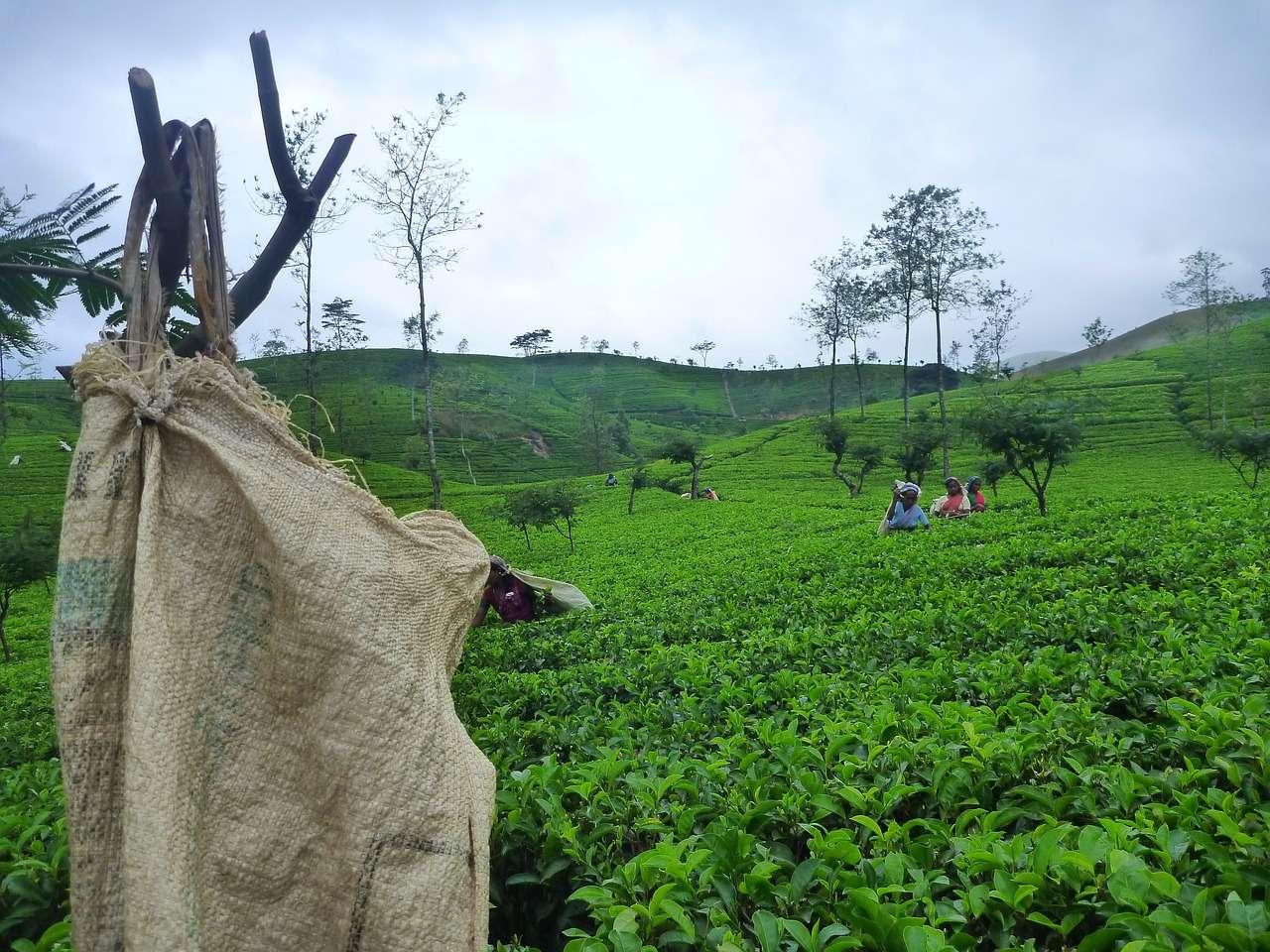 盛產錫蘭紅茶的斯里蘭卡最近發生了一件爭議很大的事!!!