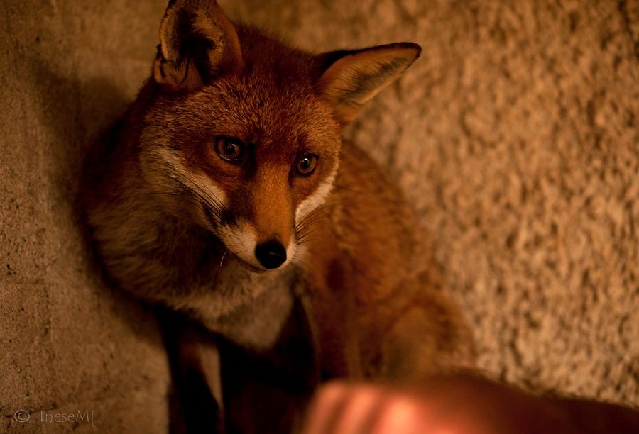 某天奇芬爺爺為了找工具箱,進到了倉庫中,卻在找東西時聽到了奇怪的叫聲,雖然有些害怕但他還是尋著聲音,找到了在一個小箱子中因為受傷而嗚咽的狐狸可瑞尼