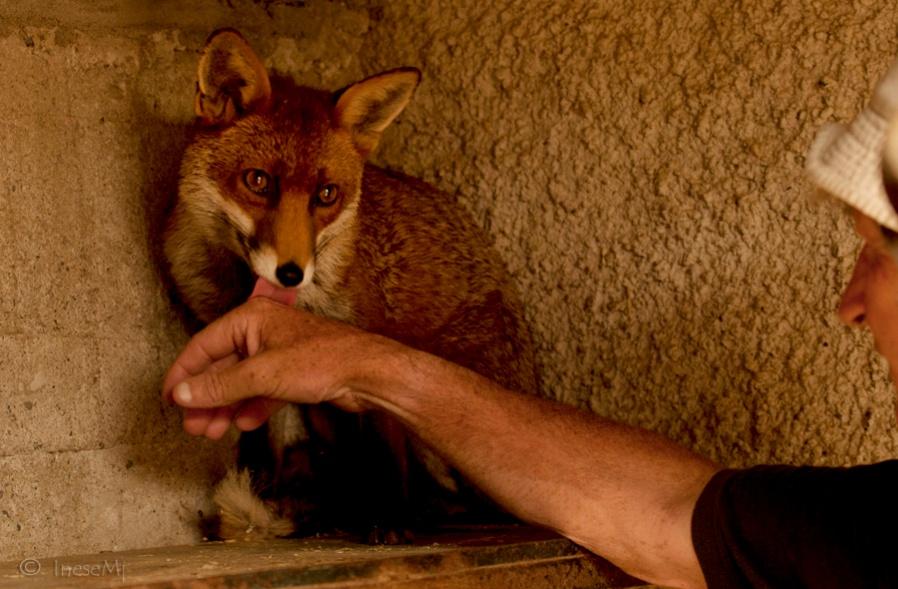 而且原本以為野生的狐狸會不太親人,沒想到被爺爺的愛感動的孩子們,偶爾還會親密的舔舔奇芬爺爺的手~也難怪爺爺會開玩笑:「偶爾會懷疑他們是不是狐狸」了