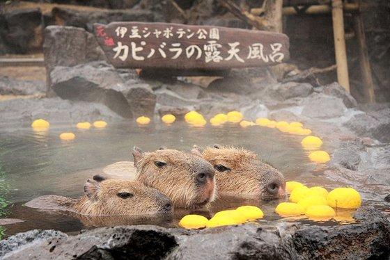 每到冬天,妞編輯就好想像水豚一樣泡在暖呼呼的溫泉裡,如果能這樣什麼都不用做、什麼都不用想,該有多好⋯除了蛋黃哥外,水豚應該算是最能代表上班族心聲的動物了吧!