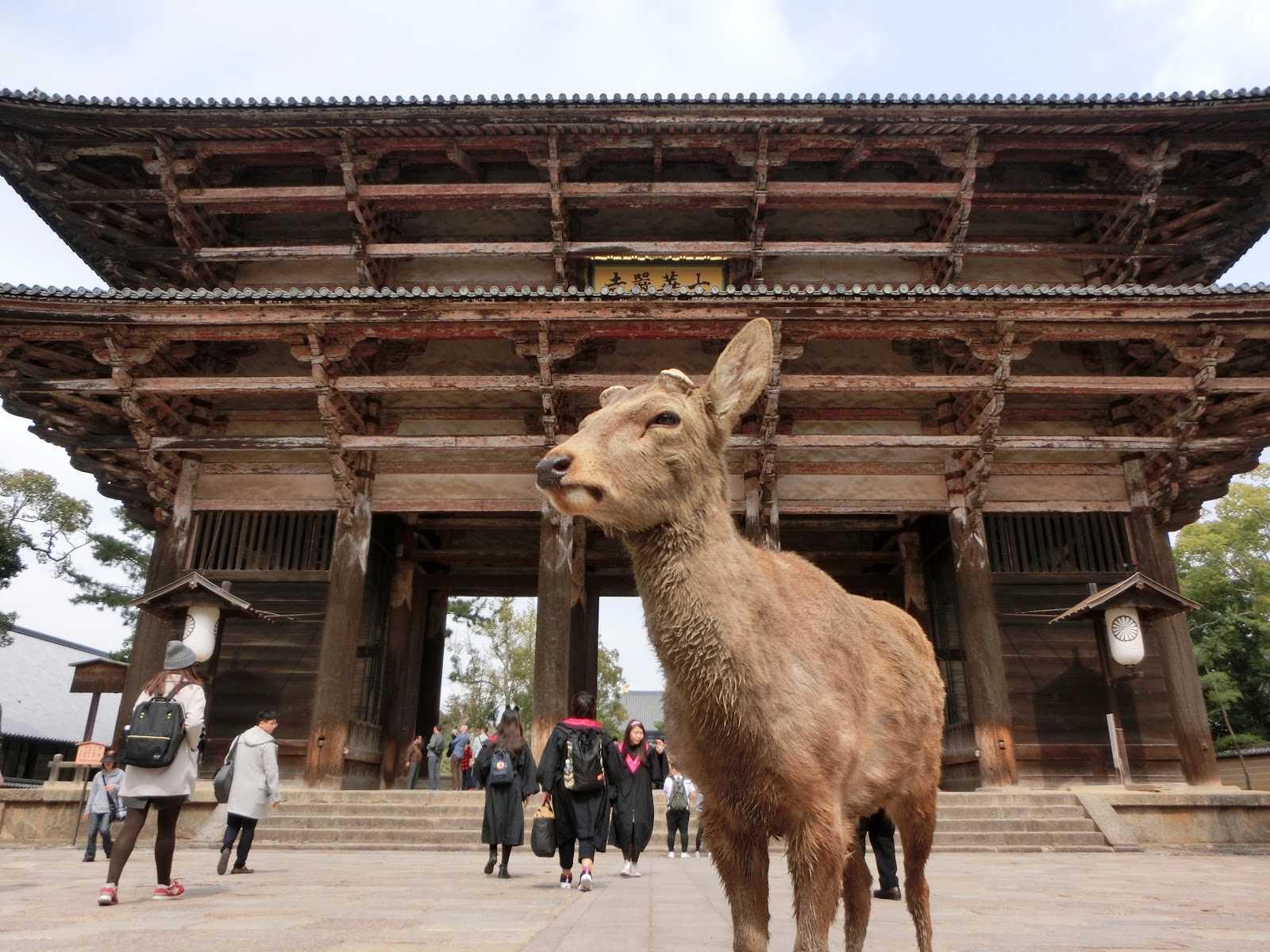Day3:奈良→伏見稻荷大社→錦市場→鴨川 第一站:奈良 奈良距離京都大約40公里,很適合安排從京都出發的一日遊,而奈良現在最廣為人知的大概就是有親近人又貪吃的小鹿了!事實上,奈良寶貴的地方不只是這些鹿,而是奈良擁有全世界最古老的木造建築群,包含了東大寺、春日大社等,所以來到奈良別只是走馬看花,停下腳步好好欣賞這些建築物吧!  ▶︎建議停留時間:3.5小時 ▶︎ 京都→奈良:從京都車站坐JR