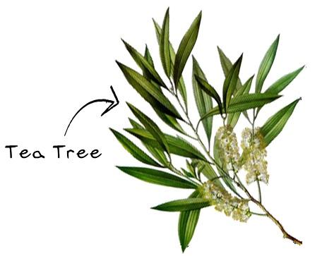 *茶樹 Tea tree-殺菌,傷口修護 跟綠茶不一樣,屬山茶科山茶屬的木本植物!有天然的抗微生物以及殺菌的功效,皮膚滲透作用力好~還可以幫助傷口癒合和止血,針對粉刺暗瘡、青春痘都很有效!