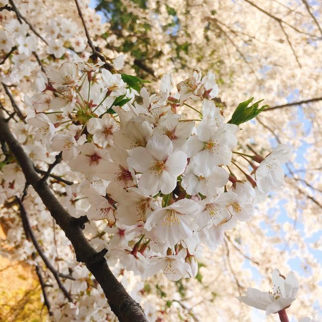 4月:鎮海、全州、慶州、大田、濟州、順天、泰安 特點:賞櫻必去地區