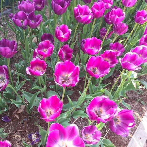 5月:首爾、谷城、麗水、南原、蔚山、泰安 特點:玫瑰花和鬱金香