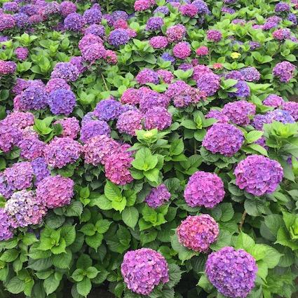 6月:寶城、咸安、釜山、旌善、潭陽、濟州 特點:繡球花和青綠的草地