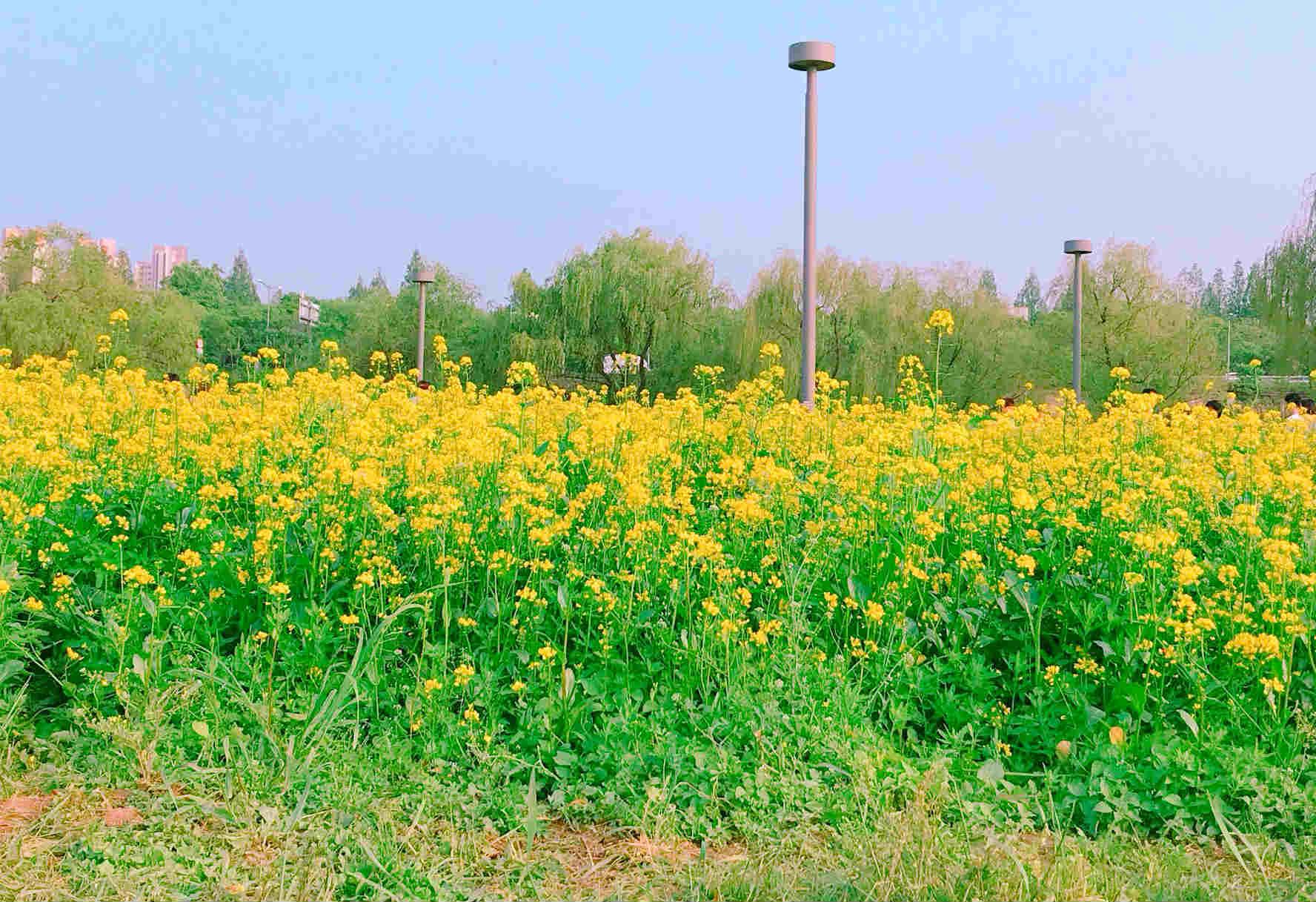 5月正是韓國油菜花盛開的季節,盤浦漢江公園裡的瑞來島,滿滿一片金黃色花海,超級迷人啊!