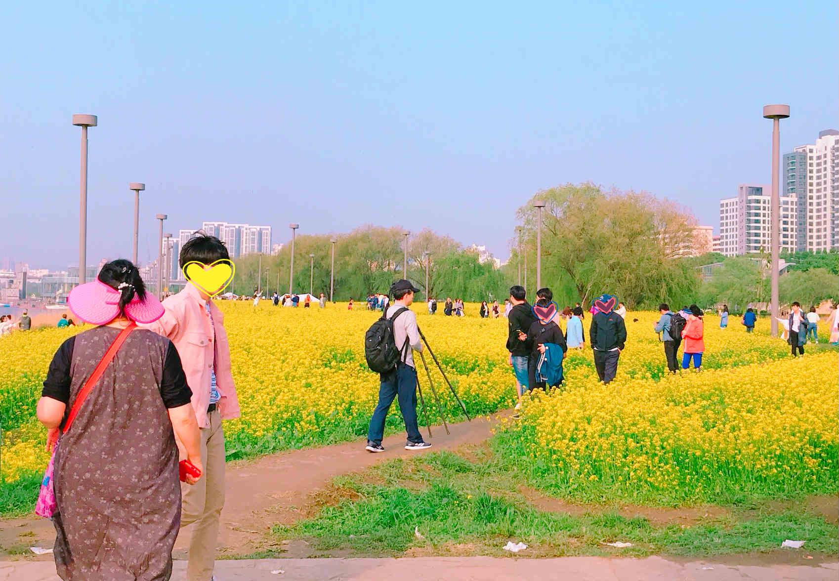 油菜花不只濟州島有,漢江公園裡也有。因此,每到5月,就會有不少首爾市民慕名前去賞花。