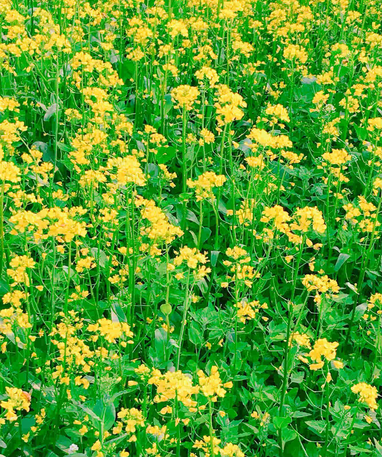 金黃色的油菜花,看了就非常療癒,就算在這裡待上一整天也不覺得心煩。