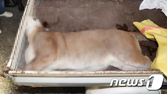 前幾天在動物園逃跑的美洲獅竟遭射擊死亡,雖然韓國民眾對此事感到非常遺憾,但也針對此事件進行相關批評及議論。19日在青瓦台請願官方網站上竟有100多則關於此事件的留言,並要求處罰該動物園。