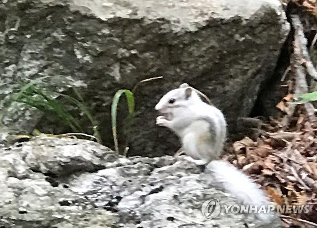 在上月25號,一名金姓男子在南雪獄探訪支援中心,大青峯區域登山途中,發現白松鼠,並拍攝了影像傳送給公園事務所。影片內容為白松鼠在岩石上吃東西,發現人類後急忙逃跑的影像。