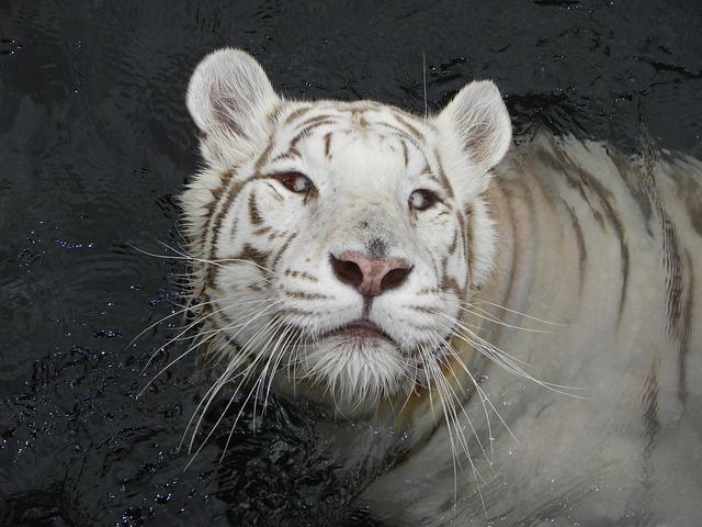 這種全白的松鼠其實是因為一種黑色素缺乏症Albino的關係,才會體毛呈現全白色。而自古以來這些患有Albino的動物都被視為吉兆。