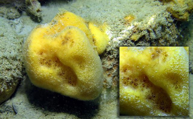 """1.海綿寶寶不是洗碗用的海綿 很多海綿寶寶的忠實觀眾對於明明只有海洋生物登場,為什麼只有海綿寶寶是""""海綿""""的這個問題感到非常好奇。 因為很多人誤會海綿寶寶是在廚房裡使用的那個海綿, 事實上海綿寶寶也是海洋生物的其中一種,是只有在大海裡才會出現的""""海綿動物"""""""