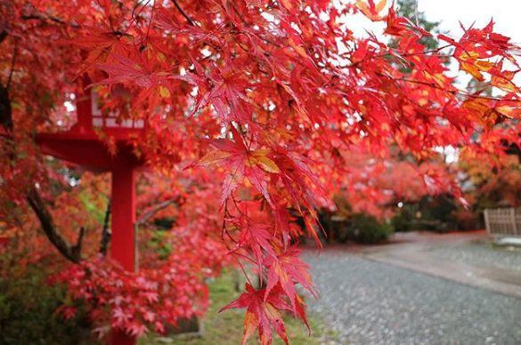 雖然要去鍬山神社比較麻煩些,路線也不是那麼好規劃,但相信一看到滿山遍野的楓葉,身上的疲累就會一掃而空,真的超、療、癒啊!