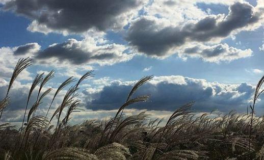 芒草隨風飛揚時,特別有種孤獨寂寥的感覺,拿著芒草拍美照,變成芒草公主,特別美麗!若在台灣想要拍到這麼美麗的景色,也能到陽明山去賞芒草山。